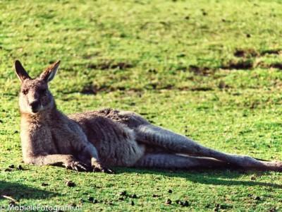 De gekopieerde foto van de kangoeroe na bewerking in Snapseed.