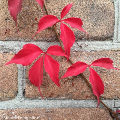 Herfstbladeren tegen een bakstenen muur [iPhone 6].