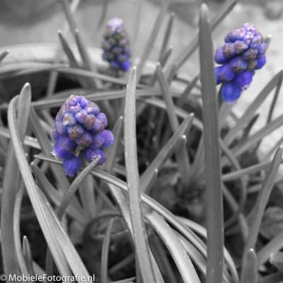 De paarse bloemetjes zijn weer teruggekleurd met de 'spatten' bewerking van Aviary. [iPhone 6]