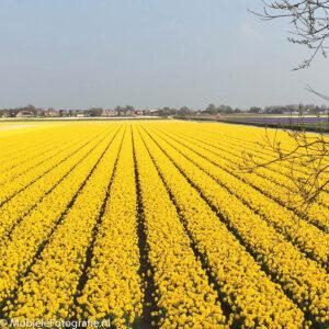 foto van Bloembollenveld - heel veel bloemen en leidende lijnen. [iPhone 6]