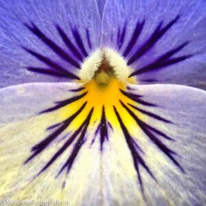 Macrofoto van een viooltje. [iPhone 6 met Olloclip]