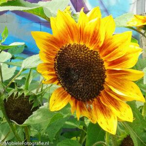 foto van Zonnebloem tegen veelkleurige achtergrond. [Samsung Galaxy Trend]