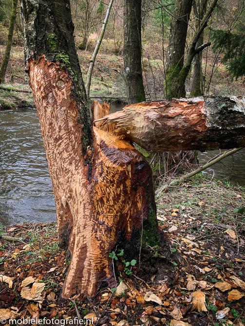 Het lichtste onderwerp - de door bevers afgeknaagde boom